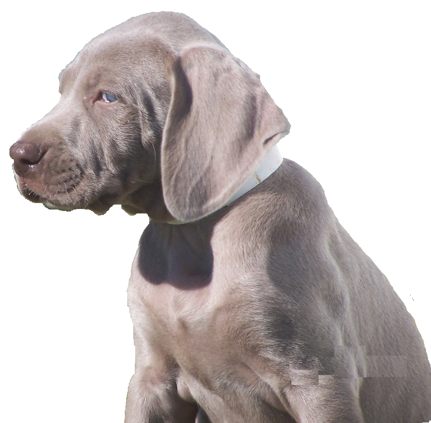 weimaraner puppy image search results